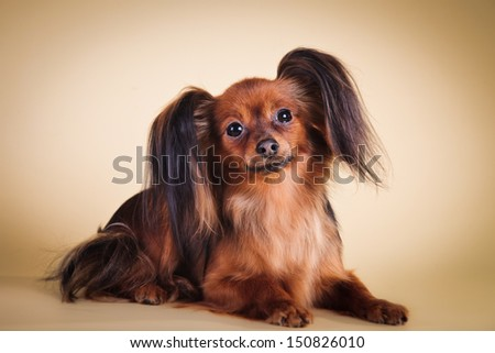 toy terrier dog, furry ears, beautiful light - stock photo