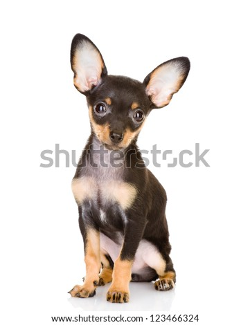 Toy Terrier looking at camera. isolated on white background - stock photo