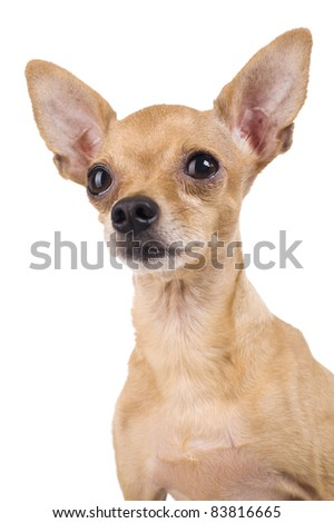 Toy Terrier on a white background