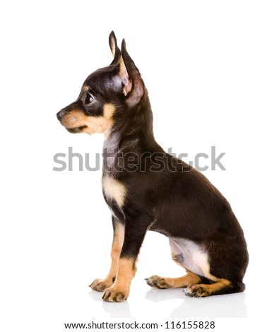 Toy Terrier profile. isolated on white background - stock photo