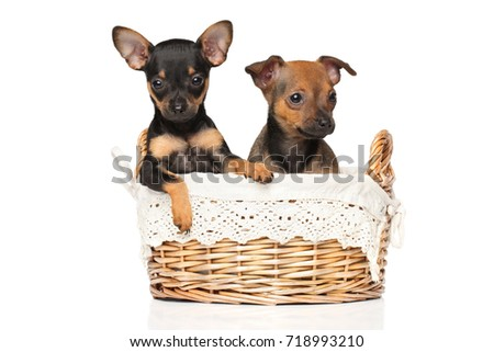 Toy terrier puppies in wicker basket posing on a white background