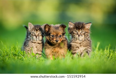 Toy terrier puppy between kittens - stock photo
