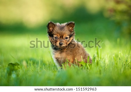 Toy terrier puppy sitting on the grass