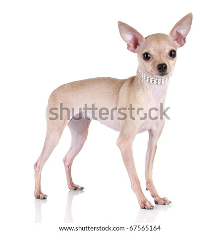 Toy terrier puppy stand on a white background