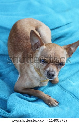 Toy terrier sitting on the blue cloth with heartfelt look