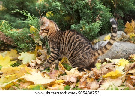 toyger cat on yellow leaves pedigreed stock photo