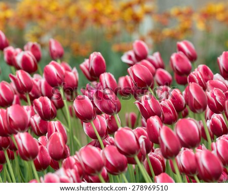 Toyota tulips in Centennial Park in Holland, Michigan - stock photo