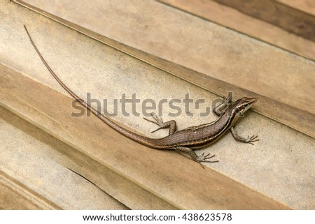 Trachylepis Seychellensis endemic species also called seychelles skink or Mabuya - stock photo