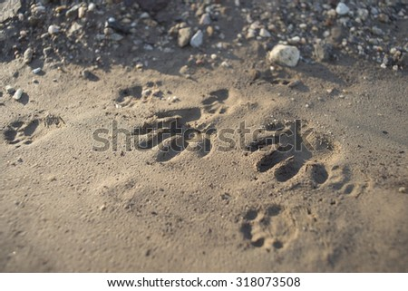 Track of an animal's paws in the mud and sand of a forest floor. - stock photo