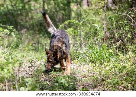 Tracking dog in the woods - stock photo