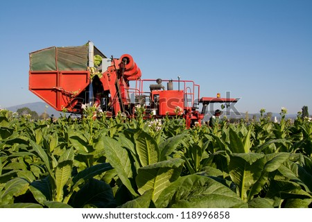 Tractor harvesting tobacco leaves. Bright leaf tobacco is used only for cigarettes so can be harvested with tractor