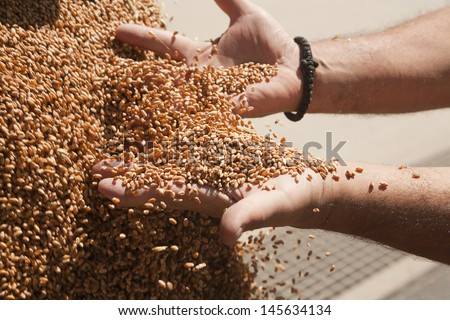 Tractor is dumping wheat grains to silo - stock photo