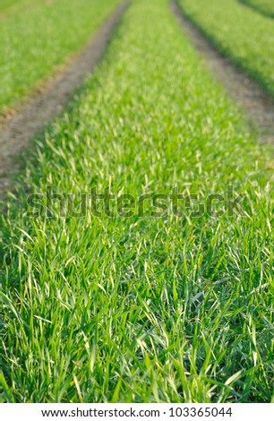 tractor tracks in green wheat