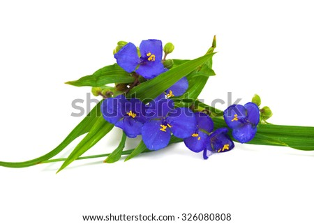 Tradescantia flowers with leaves isolated on white background - stock photo