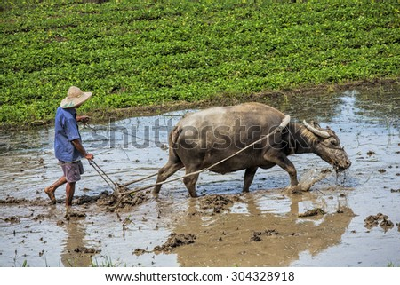 Traditional Chinese framer using an ox to plow a field for planting Guangxi Zhuang Autonomous Region, asa Guangxi Province China