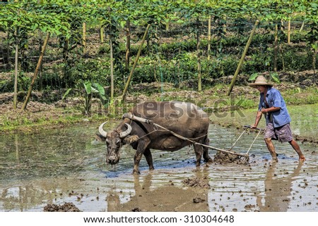 Traditional Chinese framer using an ox to plow a field for planting Guangxi Zhuang Autonomous Region, asa Guangxi Province China - stock photo
