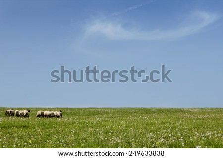 Traditional farming. Sheep herd on green grass on blue sky summer day. Beautiful rural scenery. - stock photo