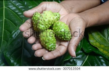 traditional medicine, hand holding noni fruits also known as Morinda citrifolia  - stock photo