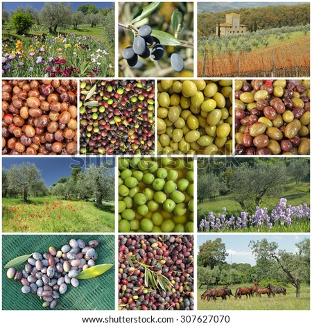 traditional olive trees cultivation in Tuscany - group of images - stock photo
