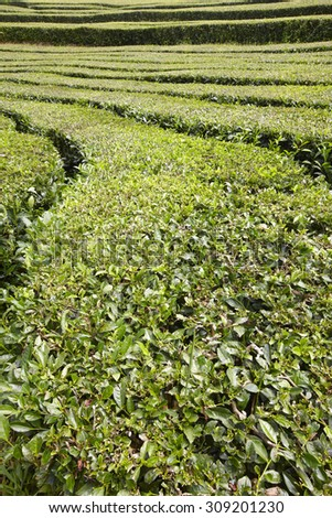 Traditional tea plantation in Sao Miguel, Azores. Portugal. Vertical