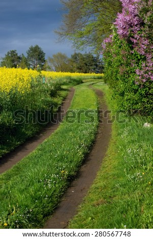 Trail in bloom rape field, blooming lilac bushes, forest on horizon, stormy sky at sunset, rural countryside - stock photo