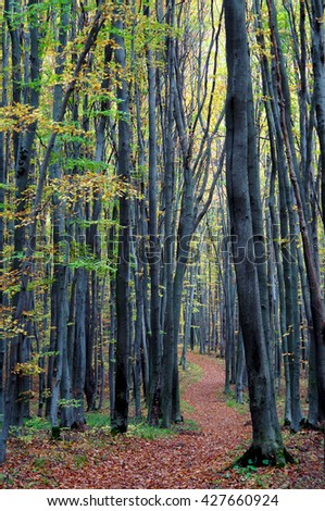 Trail leading along the beech trees in the picturesque autumnal forest                                 - stock photo