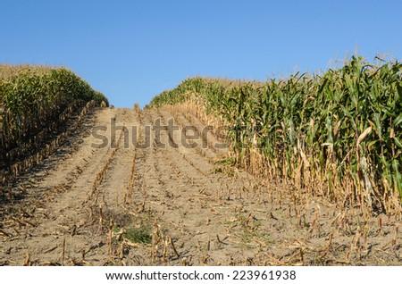 Trail Through Cornfield of Harvested Field Corn - stock photo