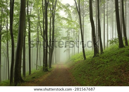 Trail through the beech forest on a foggy, rainy morning.