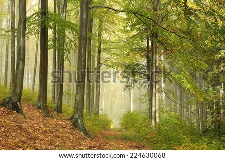 Trail through the misty autumn beech forest. - stock photo