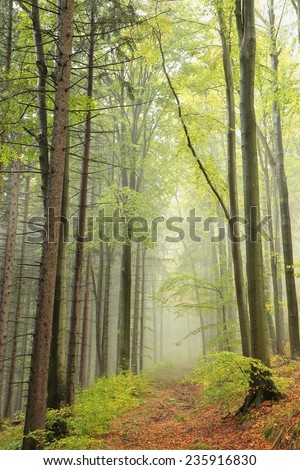 Trail through the misty autumnal forest in early October. - stock photo