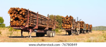 Trailers full of pine logs from a logging operation in Florida - stock photo