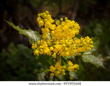 trailing mahonia blossoming with yellow flowers