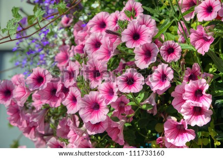 Trailing petunia flowers in a hanging basket. - stock photo