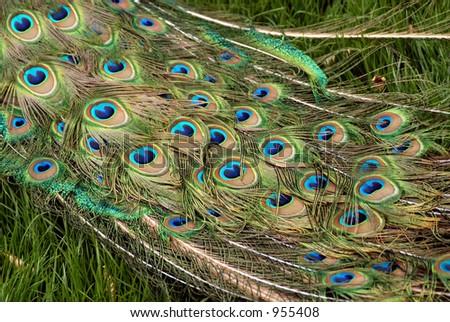 Train of a male peacock (Pavo cristatus). - stock photo