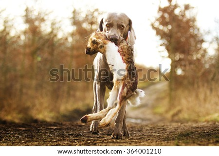 trained and a nice weimaraner dog goes in his mouth and holding a pheasant, prey and hunting training in winter nature - stock photo