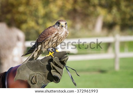 Trained hawk, used in the sport of falconry, stands perched on the trainer's gloved hand.