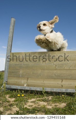 training in agility of a purebred american cocker - stock photo
