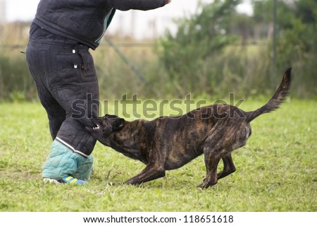 training of an holland shepherd who biting a man - stock photo