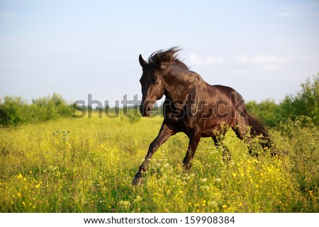Trakehner black stallion in field