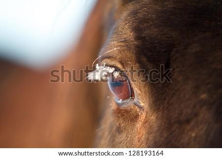 Trakehner black stallion with frozen eyelash - stock photo