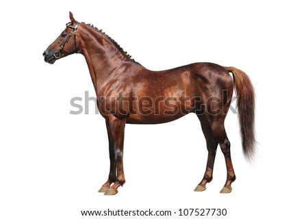 Trakehner chestnut stallion isolated on white - stock photo