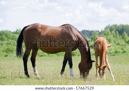 trakehner mare and foal in field - stock photo