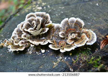 trametes versicolor, also known as coriolus versicolor and polyporus versicolor mushroom