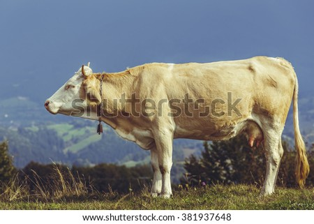 Tranquil adult brown female cow with bell on neck. Traditional organic cattle breeding. - stock photo