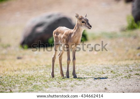 Transcaucasus or armenian mouflon little