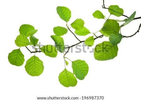 Translucent green leaves on a branch of alder isolated on white  - stock photo