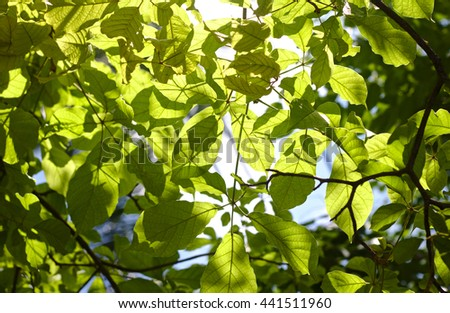 Translucent tree leaves on summer sunny day. - stock photo