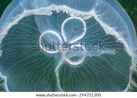 Translucent underwater creature, closeup of a moon jellyfish, Aurelia aurita, Caribbean sea - stock photo