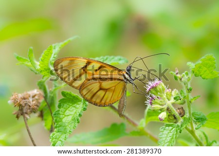 Transparent and orange butterfly Athesis clearista on a flower - stock photo