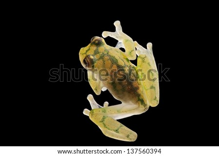transparent glass frog, Hyalinobatrachium valeroi. Small tree frog from the Amazon rain forest. This tropical animal lives in the rainforest of Costa Rica, Panama, Colombia and Ecuador - stock photo